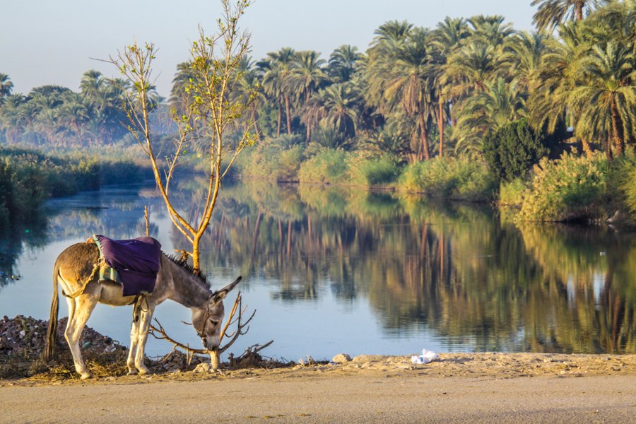 Donkey by the lake in Luxor Egypt